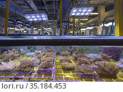 Coral native to Great Barrier Reef inside experiment tank at National... Стоковое фото, фотограф Jurgen Freund / Nature Picture Library / Фотобанк Лори