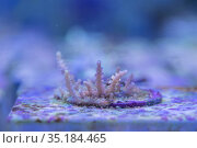 Coral growing in marine tank where impacts of complex environmental... Стоковое фото, фотограф Jurgen Freund / Nature Picture Library / Фотобанк Лори
