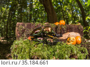 Mueller's stag beetle (Phalacrognathus muelleri) pair mating... Стоковое фото, фотограф Jurgen Freund / Nature Picture Library / Фотобанк Лори