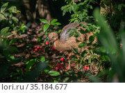 Southern cassowary (Casuarius casuarius johnsonii) feeding on fruits in rainforest. Topaz, Atherton Tablelands, Far North Queensland, Australia. Стоковое фото, фотограф Jurgen Freund / Nature Picture Library / Фотобанк Лори