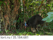 Southern cassowary (Casuarius casuarius johnsonii) male and chick feeding in rainforest. Mission Beach, Far North Queensland, Australia. Стоковое фото, фотограф Jurgen Freund / Nature Picture Library / Фотобанк Лори