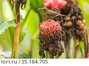 Magnificent sunbird (Aethopyga magnifica) female perched on flower. Negros Occidental, Philippines. Стоковое фото, фотограф Jurgen Freund / Nature Picture Library / Фотобанк Лори