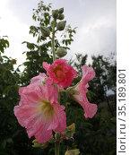 Шток роза. Стоковое фото, фотограф Елизарова Ирина / Фотобанк Лори