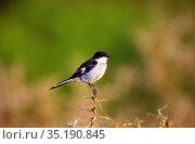 Fiscal Flycatcher, Sigelus silens, Muscicapidae, bird, animal, Addo... Стоковое фото, фотограф R. Kunz / age Fotostock / Фотобанк Лори