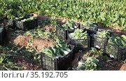 Boxes with chard on the farm field. Harvesting. Стоковое видео, видеограф Яков Филимонов / Фотобанк Лори