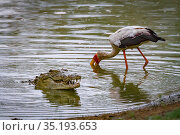 Yellow-billed stork (Mycteria ibis) hunting for fish near a Nile crocodile (Crocodylus niloticus) that has come up to swallow a mouthful of fish. Msicadzi... Стоковое фото, фотограф Jen Guyton / Nature Picture Library / Фотобанк Лори