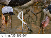 Marabou storks (Leptoptilos crumenifer) and Yellow-billed storks (Mycteris ibis) sweeping  the water for fish in the Msicadzi River, Gorongosa National... Стоковое фото, фотограф Jen Guyton / Nature Picture Library / Фотобанк Лори
