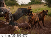 White-backed vultures (Gyps africanus) and spotted hyenas (Crocuta crocuta) pick at the drying and deflated skin of an elephant carcass (Loxodonta africana... Стоковое фото, фотограф Jen Guyton / Nature Picture Library / Фотобанк Лори