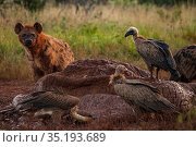 White-backed vultures (Gyps africanus) pick at an elephant carcass (Loxodonta africana) while a spotted hyena (Crocuta crocuta) looks on, Laikipia Plateau... Стоковое фото, фотограф Jen Guyton / Nature Picture Library / Фотобанк Лори