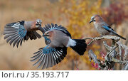 Jay (Garrulus glandarius), two fighting in mid-air with another observing... Редакционное фото, фотограф Markus Varesvuo / Nature Picture Library / Фотобанк Лори