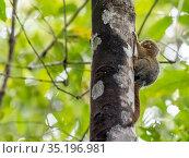 Adult pygmy marmoset (Cebuella pygmaea), Lake Clavero, Amazon Basin... Стоковое фото, фотограф Michael Nolan / age Fotostock / Фотобанк Лори