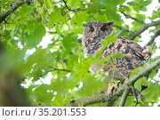 Eurasian eagle owl (Bubo bubo) perched in tree, viewed through leaves. The Netherlands. July. Стоковое фото, фотограф Edwin Giesbers / Nature Picture Library / Фотобанк Лори