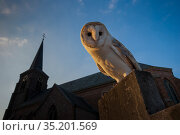Barn owl (Tyto alba) perched on gravestone in front of church, in evening light. The Netherlands. Captive. Стоковое фото, фотограф Edwin Giesbers / Nature Picture Library / Фотобанк Лори