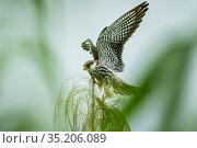 Amur falcon (Falco amurensis) female perched during migration , Nagaland, India. Стоковое фото, фотограф Sandesh  Kadur / Nature Picture Library / Фотобанк Лори