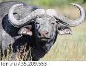 Bull buffalo in the mud with big curved horns (2009 год). Стоковое фото, фотограф Олег Елагин / Фотобанк Лори