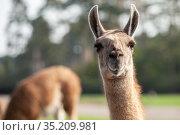 Portrait of a brown llama with a very long neck. Стоковое фото, фотограф Restyler Viacheslav / Фотобанк Лори