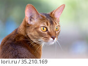 portrait of a cat of Abyssinian breed in nature on a summer day. Стоковое фото, фотограф Акиньшин Владимир / Фотобанк Лори