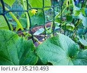 Выращивание огурцов на шпалерной сетке. Стоковое фото, фотограф Вячеслав Палес / Фотобанк Лори