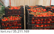 Stack of plastic boxes with freshly picked ripe red tomatoes in vegetable store of farm greenhouse. Harvest time. Стоковое видео, видеограф Яков Филимонов / Фотобанк Лори