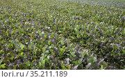 Rows of harvest of mustard leaf on the farm field. Стоковое видео, видеограф Яков Филимонов / Фотобанк Лори