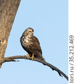 Harlan's hawk (Buteo jamaicensis harlani) juvenile, perched on a branch above the Platte River, Denver, Colorado, USA. February. Стоковое фото, фотограф Charlie Summers / Nature Picture Library / Фотобанк Лори