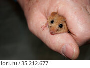 Hazel dormouse (Muscardinus avellanarius) held in hand during weighing, part of dormouse box checks to monitor dormouse populations. Kent. October. Стоковое фото, фотограф David Tipling / Nature Picture Library / Фотобанк Лори