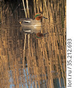 Common teal (Anas crecca) male in reedbed, reflected in water. Cley, Norfolk, England, UK. February. Стоковое фото, фотограф David Tipling / Nature Picture Library / Фотобанк Лори