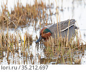 Common teal (Anas crecca) male. Cley, Norfolk, England, UK. March. Стоковое фото, фотограф David Tipling / Nature Picture Library / Фотобанк Лори