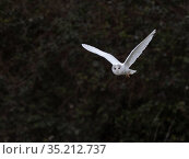 Barn owl (Tyto alba), leucistic bird hunting in morning. North Norfolk, England, UK. February. Стоковое фото, фотограф David Tipling / Nature Picture Library / Фотобанк Лори