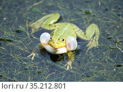Edible frog (Rana esculenta), male in pond croaking, vocalising, calling with vocal sacs inflated, France. Стоковое фото, фотограф Eric Baccega / Nature Picture Library / Фотобанк Лори