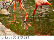 Pink flamingos stand and are reflected in clear water. Стоковое фото, фотограф Restyler Viacheslav / Фотобанк Лори