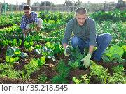 Farmer weeds green cabbage on farm field. Стоковое фото, фотограф Яков Филимонов / Фотобанк Лори