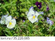 Фиалка трехцветная (лат. Viola tricolor), или анютины глазки цветет в летнем саду. Стоковое фото, фотограф Елена Коромыслова / Фотобанк Лори