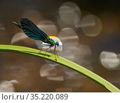 Beautiful Demoiselle damselfly, (Calopteryx virgo), male perching above river, Wales, UK. Стоковое фото, фотограф Andy Rouse / Nature Picture Library / Фотобанк Лори