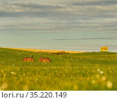 European hare, (Lepus europaeus), in grassland - golf driving range, UK. Стоковое фото, фотограф Andy Rouse / Nature Picture Library / Фотобанк Лори