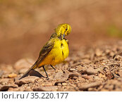 Yellow wagtail, (Motacilla flava), male preening, UK. Стоковое фото, фотограф Andy Rouse / Nature Picture Library / Фотобанк Лори