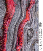 Detail of the trunk of a Manzanita (Arctostaphylos viscida) with its unique red bark against the dead wood grained patterns. Rincon Mountains, Coronado National Forrest, Arizona. Стоковое фото, фотограф Jack Dykinga / Nature Picture Library / Фотобанк Лори