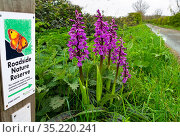 Early purple orchid (Orchis mascula) growing on roadside verge along lane, with Roadside Nature Reserve sign, Norfolk, England, UK. April. Стоковое фото, фотограф Ernie Janes / Nature Picture Library / Фотобанк Лори