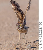 Burrowing owl (Athene cunicularia) chick, approximately 3 weeks after leaving burrow, running to meet parent arriving with food. Marana, Sonoran Desert, Arizona, USA. Стоковое фото, фотограф Jack Dykinga / Nature Picture Library / Фотобанк Лори