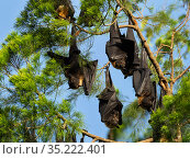 Flying fox (Pteropus sp) group sleeping in tree. Morobe Province, Papua New Guinea. Стоковое фото, фотограф Konrad Wothe / Nature Picture Library / Фотобанк Лори
