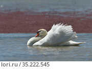 Mute swan (Cygnus olor) Vendee, France, May. Стоковое фото, фотограф Loic Poidevin / Nature Picture Library / Фотобанк Лори