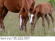 Purebred Arabian , mare chestnut and bay foal, age one month, feeding on a meadow, Grands Causses regional Natural Park Causse, Lozere, France, June. Стоковое фото, фотограф Pascal Pittorino / Nature Picture Library / Фотобанк Лори