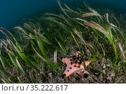 Horned sea star (Protoreaster nodosus) in seagrass bed at Bunaken... Стоковое фото, фотограф Sirachai Arunrugstitchai / Nature Picture Library / Фотобанк Лори