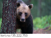 Eurasian brown bear (Ursus arctos) male, Jarbo, Sweden. Стоковое фото, фотограф Staffan Widstrand / Nature Picture Library / Фотобанк Лори