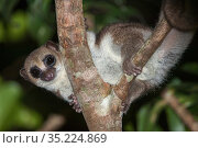 Greater dwarf lemur (Cheirogaleus major) in rainforest canopy at night. Masoala National Park, Madagascar. Стоковое фото, фотограф Nick Garbutt / Nature Picture Library / Фотобанк Лори