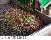 Olives discharge in hopper. Стоковое фото, фотограф Яков Филимонов / Фотобанк Лори