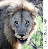 Portrait of an old lion with scars on its face (2009 год). Стоковое фото, фотограф Олег Елагин / Фотобанк Лори