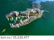 RF - American crocodile (Crocodylus acutus) swims through sunrays... Стоковое фото, фотограф Alex Mustard / Nature Picture Library / Фотобанк Лори