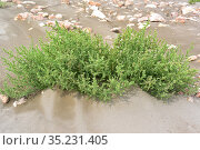 Prickly glasswort or prickly saltwort (Salsola kali or Kali turgidum... Стоковое фото, фотограф J M Barres / age Fotostock / Фотобанк Лори