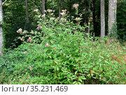 Hemp-agrimony (Eupatorium cannabinum) is a medicinal perennial plant... Стоковое фото, фотограф J M Barres / age Fotostock / Фотобанк Лори